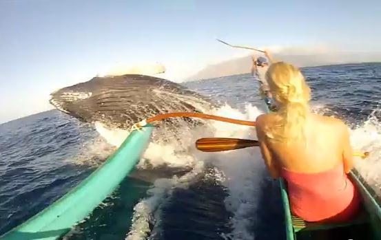 ザトウクジラがホエールウォッチング中のカヌーと接触