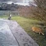 鷲を狩ろうとした猫に思わぬ敵が現れる