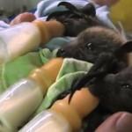 親のいないコウモリの赤ちゃんを育てることに