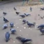 鳩の群れに猛突進するチワワ