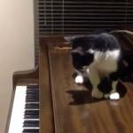ピアノの音に過剰に反応するネコ
