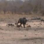 リカオン vs. アフリカ水牛