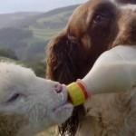 子羊にミルクを与えるワンコ