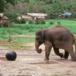 ボールでとても楽しそうに遊ぶゾウ、しかし…