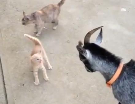 ヤギ vs. ど根性子猫