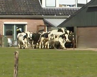 外に出られて大喜びな乳牛たち