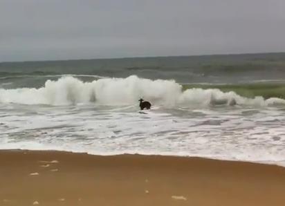 海の波に打たれて修行する鹿