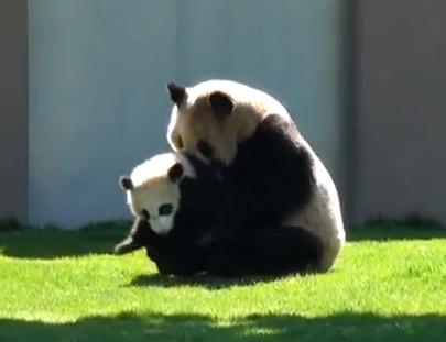 じゃれ合うパンダの親子 in アドベンチャーワールド