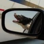 すれ違う車両に噛み付こうとするワンコ