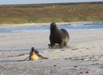 発狂したアシカに追いかけられるペンギン