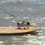 豚もサーフィンをする時代