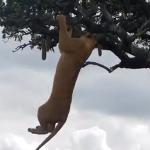 木登りしてあそぶセレンゲティの雌ライオンたち