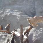 サル vs ヤギ