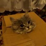 ダンボールから顔をひょこっと出す猫
