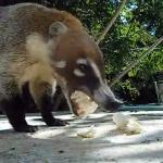 ごちそうを食べるハナグマ