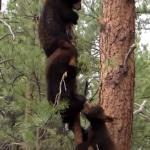 細い木に登る三匹の子グマ