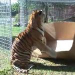 猫科の動物に大きな段ボール箱を与えた時の反応