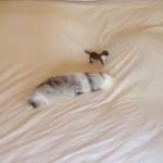 ベッドの上で高速アタックするイタチ