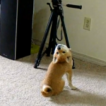 首の動きが不自然過ぎる柴犬
