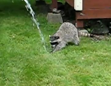 ホースの水を追いかけるアライグマ