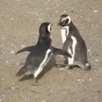 ペンギン vs. ペンギン、激しい喧嘩