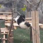 パンダの赤ちゃん、木の上で大苦戦