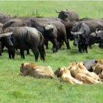 ンゴロンゴロ・クレーターのアフリカ水牛 vs. ライオン