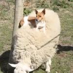 羊の背中に住む犬