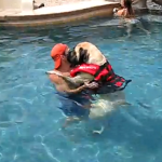 超大型犬マスティフの泳ぎの特訓風景