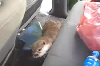 車に乗り込んできたカワウソ