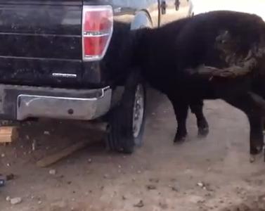車のタイヤハウスから頭が抜けなくなった牛の救助