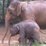 象の親子、雨降りの泥遊び