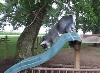 滑り台で遊ぶヤギ