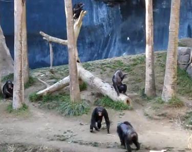 ロサンゼルス動物園のチンパンジーが乱闘