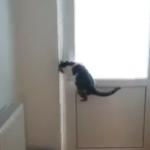 ドア開けの天才猫