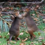 ワラビー vs. ワラビー 激しい戦い