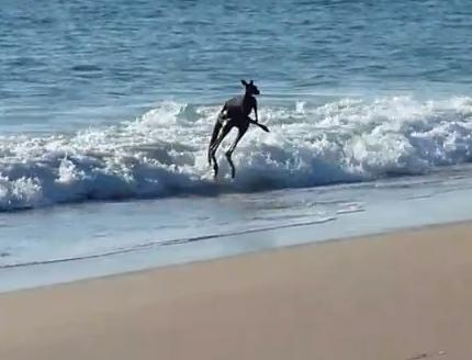 海水浴を楽しむカンガルー