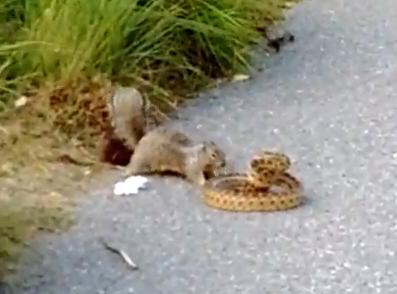 ヘビ vs. リス 、ヘビを襲うリス