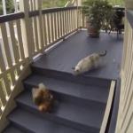 ニワトリを追う猫、しかし予想以上に逃げ足が早かった