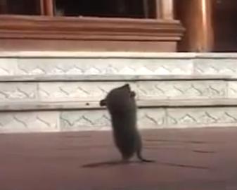 信心深いネズミ
