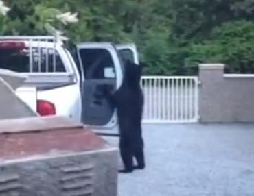クマの着ぐるみを来て車を漁る…いや本物だ!