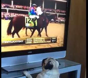テレビ画面から消えた馬を追うパグ
