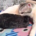 猫に可愛がられるウサギ