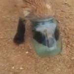 頭が瓶から抜けなくなってしまったキツネの救助