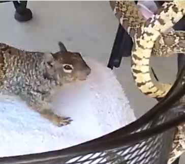 蛇に襲いかかるリス 蛇 vs. リス
