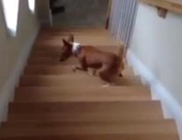 階段を見上げて登るのが怖いワンコ