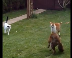 猫 vs. キツネ・キツネを撃退するニャンコ