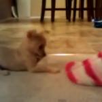 チワワのパピー vs. 人間の足