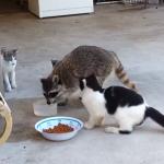 猫のエサを横取りするアライグマ