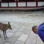 礼儀正しい奈良の鹿